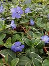 Vinca minor Ralph Shugert 1L Pot